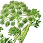 Anis vert graines bio 100g
