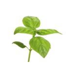 Basilic sacré feuille bio 30g