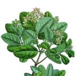 Boldo feuilles poudre bio 100g
