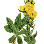 Bouillon blanc feuilles poudre bio 50g