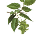 Bouleau feuilles bio 30g