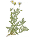 Camomille romaine fleurs bio 30g
