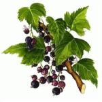 Cassis feuilles bio 30g
