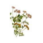 Coriandre graines bio 100g
