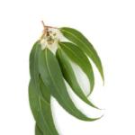 Eucalyptus feuilles bio 30g