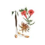 Harpagophytum rac. bio 100g