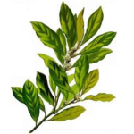 Laurier feuilles bio 30g