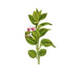 Mélisse feuilles bio 30g
