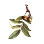Noyer feuilles bio 50g