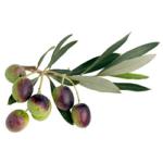 Olivier feuilles bio 50g