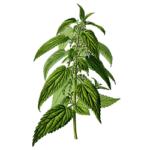 Ortie piquante feuilles bio 30g