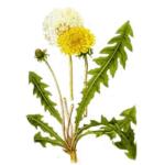 Pissenlit feuilles bio 50g
