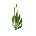 Plantain feuilles bio 50g
