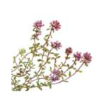 Serpolet Thym feuilles bio 50g